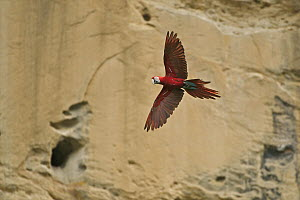 Red and Green Macaw (Ara chloroptera) flying near clay lick, Tuichi River, Bolivia  -  Sean Crane