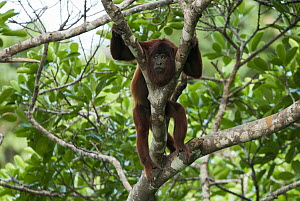 Bolivian Red Howler Monkey (Alouatta sara) resting in a tree, Lake Chalalan, Madidi National Park, Bolivia  -  Sean Crane