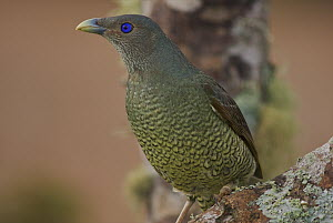 Satin Bowerbird (Ptilonorhynchus violaceus) female, Lamington National Park, Queensland, Australia  -  Sean Crane