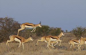 Springbok (Antidorcas marsupialis) leaping in pronking display, Kalahari Game Reserve, Botswana  -  Sean Crane