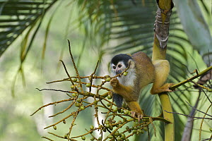 Black-crowned Central American Squirrel Monkey (Saimiri oerstedii) eating figs, Pavones, Costa Rica  -  Sean Crane