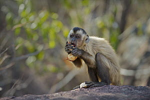 Brown Capuchin (Cebus apella) eating a palm nut, Piaui, Brazil  -  Sean Crane