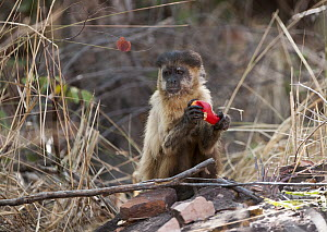Brown Capuchin (Cebus apella) eating a Cashew (Anacardium occidentale) fruit, Piaui, Brazil  -  Sean Crane