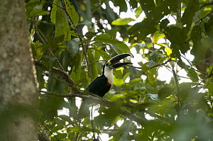 Red-billed Toucan (Ramphastos tucanus) calling, Lake Chalalan, Madidi National Park, Bolivia  -  Sean Crane