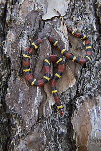 Milk Snake (Lampropeltis triangulum) on tree bark, Georgia  -  Pete Oxford