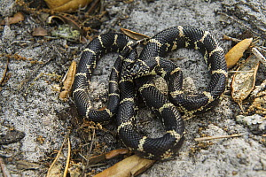 Eastern Kingsnake (Lampropeltis getula), Little Saint Simon's Island, Georgia  -  Pete Oxford