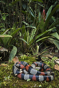 Milk Snake (Lampropeltis triangulum micropholis), native to South America  -  Pete Oxford