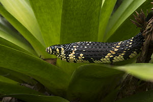 Tropical Rat Snake (Spilotes pullatus) in defensive posture, native to South America - Pete Oxford