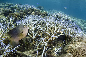 Onespot Demoiselle (Chrysiptera unimaculata) and Staghorn Coral (Acropora cervicornis), Koro Island, Fiji  -  Pete Oxford