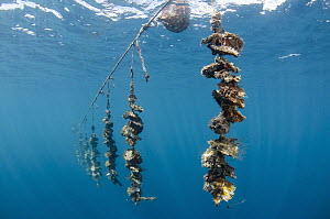 Penguin Wing Oyster (Pteria penguin) group hanging near surface as part of black pearl farming operation, Fiji - Pete Oxford