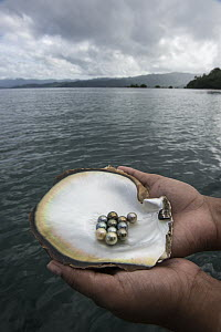 Penguin Wing Oyster (Pteria penguin) shell with black pearls, Fiji - Pete Oxford