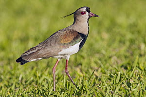 Southern Lapwing (Vanellus chilensis), Misiones, Argentina  -  Agustin Esmoris