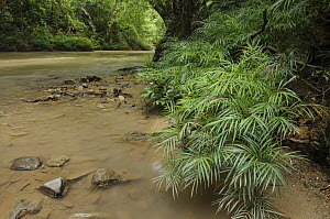 Palm (Pinanga tenella) with narrow leaves capable of withstanding occasional floods of swift water without being torn, Tibu, Batang Ai National Park, Malaysia  -  Chien Lee