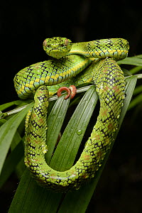 Schultz' Pit Viper (Trimeresurus schultzei) showing red tail tip used for caudal luring, Thumb Peak, Palawan Island, Philippines  -  Chien Lee