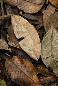 Moth (Eupterote asclepiades) camouflaged against leaf litter, Gunung Penrissen, Borneo Highlands, Malaysia  -  Chien Lee
