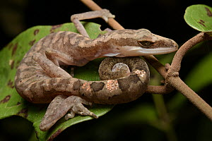 Cat Gecko (Aeluroscalabotes felinus) named for its tail-curling habit, Kubah National Park, Malaysia  -  Chien Lee