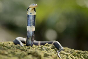 Equatorial Spitting Cobra (Naja sumatrana) juvenile found crossing road in palm oil plantation, Miri, Malaysia - Chien Lee