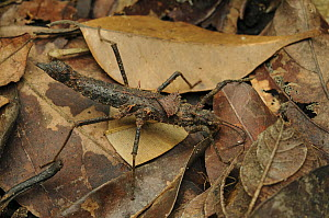 Stick Insect (Hoploclonia gecko)camouflaged in leaf litter, Sarawak, Kubah National Park, Sarawak, Malaysia  -  Chien Lee