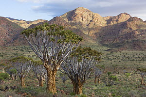 Quiver Tree (Aloe dichotoma) group and mountains, NamibRand Nature Reserve, Namibia - Theo Allofs
