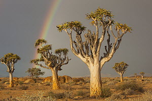 Quiver Tree (Aloe dichotoma) group with rainbow, Namib Desert, Namibia  -  Theo Allofs