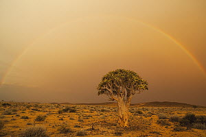 Quiver Tree (Aloe dichotoma) and rainbow, Namib Desert, Namibia - Theo Allofs