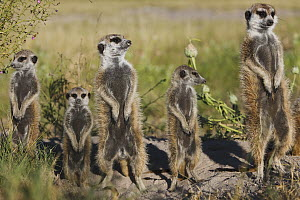 Meerkat (Suricata suricatta) parents and young basking, Makgadikgadi Pan, Kalahari, Botswana - Theo Allofs