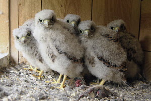 Eurasian Kestrel (Falco tinnunculus) chicks in nest box, Lower Saxony, Germany  -  Folkert Christoffers