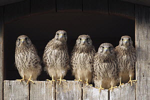 Eurasian Kestrel (Falco tinnunculus) fledglings, Lower Saxony, Germany  -  Folkert Christoffers