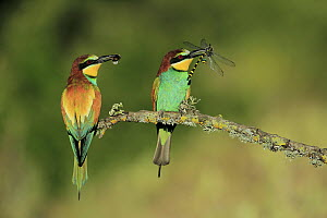 European Bee-eater (Merops apiaster) pair with bumblebee and dragonfly prey, Cadiz, Spain  -  Andres M. Dominguez
