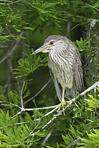 Black-crowned Night Heron (Nycticorax nycticorax) juvenile, Florida  -  Volker Hesse