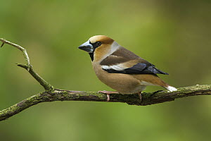 Hawfinch (Coccothraustes coccothraustes) male, Utrecht, Netherlands  -  Walter Soestbergen