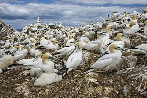 Northern Gannet (Morus bassanus) nesting colony, Saltee Islands, Ireland  -  Mario Suarez Porras