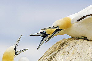 Northern Gannet (Morus bassanus) trio in territorial dispute, Saltee Islands, Ireland  -  Mario Suarez Porras