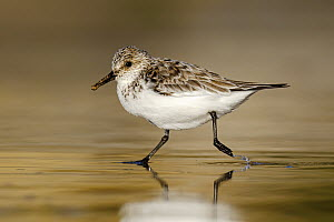 Sanderling (Calidris alba) running on beach, Asturias, Spain  -  Mario Suarez Porras
