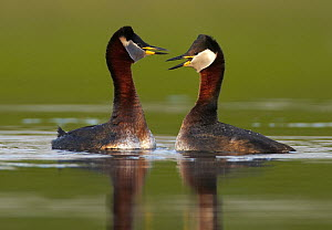 Red-necked Grebe (Podiceps grisegena) pair courting, Mecklenburg-Vorpommern, Germany - Chris Romeiks
