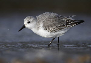 Sanderling (Calidris alba) foraging, Schleswig-Holstein, Germany - Chris Romeiks