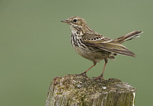Meadow Pipit (Anthus pratensis), Schleswig-Holstein, Germany - Chris Romeiks