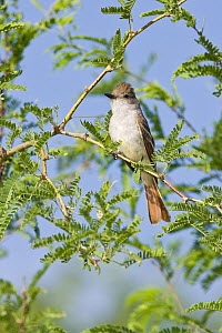 Ash-throated Flycatcher (Myiarchus cinerascens), Arizona  -  E.J. Peiker