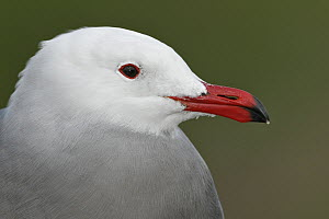 Heermann's Gull (Larus heermanni), California  -  E.J. Peiker