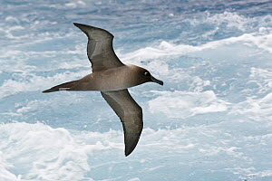 Light-mantled Albatross (Phoebetria palpebrata) flying, Antarctica  -  E.J. Peiker