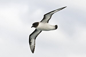 Pintado Petrel (Daption capense) flying, Antarctica  -  E.J. Peiker