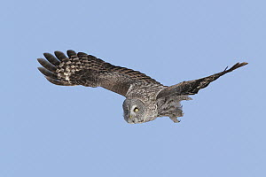Great Gray Owl (Strix nebulosa) flying, Maine  -  E.J. Peiker