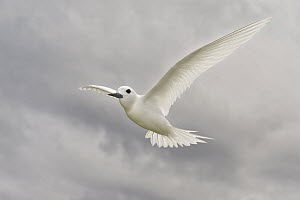 White Tern (Gygis alba) flying, Hawaii  -  E.J. Peiker