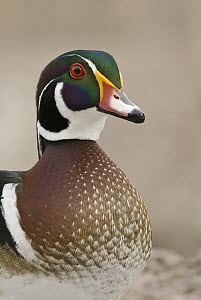 Wood Duck (Aix sponsa) male, New Mexico  -  E.J. Peiker