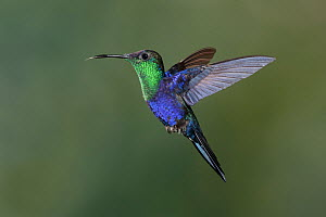 Violet-crowned Woodnymph (Thalurania colombica) hummingbird flying, Costa Rica - Greg Basco