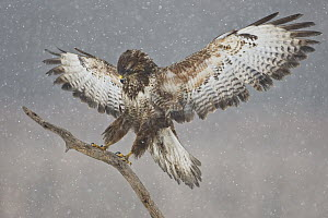 Common Buzzard (Buteo buteo) landing during snowfall, Saxony, Germany  -  Oliver Richter