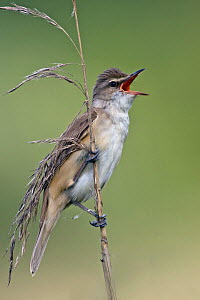 Great Reed-Warbler (Acrocephalus arundinaceus) male calling, Saxony, Germany  -  Oliver Richter