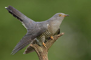 Common Cuckoo (Cuculus canorus) male, Saxony, Germany  -  Oliver Richter