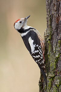 Middle Spotted Woodpecker (Dendrocopos medius), Saxony, Germany  -  Oliver Richter