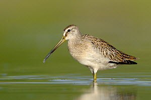 Short-billed Dowitcher (Limnodromus griseus), Texas - Alan Murphy